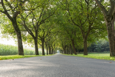 An avenue of walnuts, vanishing point