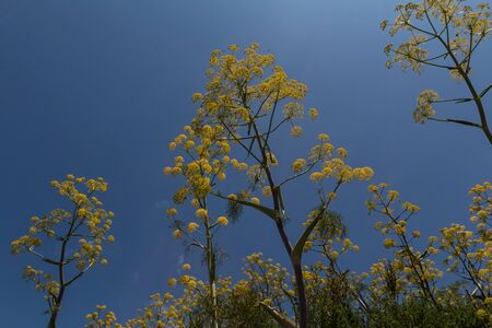 blossoms of wild fennel