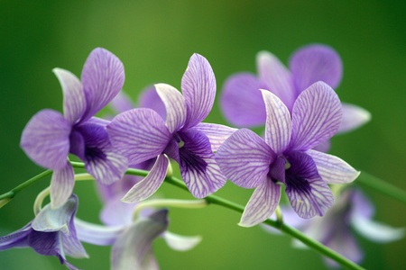 Wild orchids of highmountainous Borneo. The paradise butterflies.の写真素材