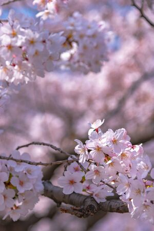 Close up full bloom beautiful pink cherry blossoms (sakura) in springtime sunny day with soft natural background