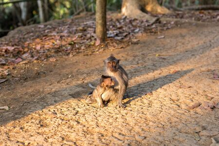 A macaque monkey with a baby macaque at a Monkey Forest Sanctuary in Ubud, Bali, Indonesia