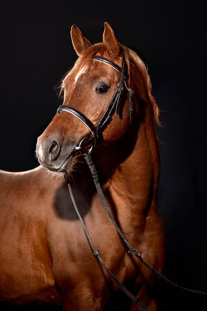 Photo pour Portrait of bay horse with classic bridle isolated on dark stable background - image libre de droit