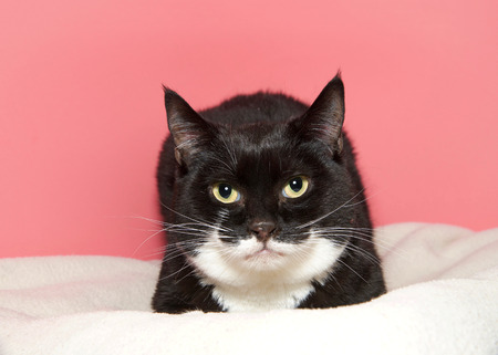 Photo pour Portrait of a black and white tuxedo cat laying on a white blanket looking directly at viewer. Pink background. As of 2017, the domestic cat was the second-most popular pet in the U.S. - image libre de droit