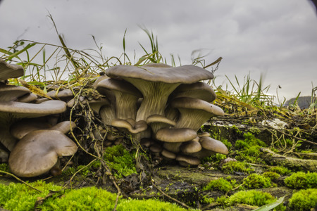 Photo pour Oyster mushroom. Edible gray-violet mushrooms, Pleurotus ostreatus, among the grass on the tree stump. Excellent photo for your site about the kitchen, mushrooms, forest and nature. - image libre de droit