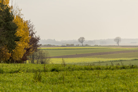 Photo pour Late autumn. Yellow-green mustard field. Trees in the foreground. Forest in the fog in the background.The site is about agriculture. Podlasie, Poland. - image libre de droit