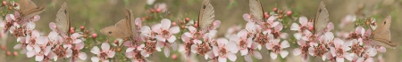 Photo pour Australian panoramic Australiana banner for smart phone and tablet with live natural wild butterfly and leptospernum flowers of Australia - image libre de droit