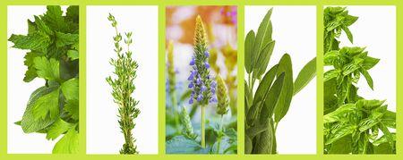 Foto de Set of organic healthy herbs basil, sage, chia, thyme,  parsley and mint as a panoramic banner - Imagen libre de derechos