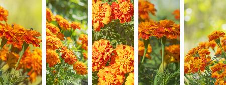Foto de Panoramic set of marigold flowers banner for flora nature background - Imagen libre de derechos