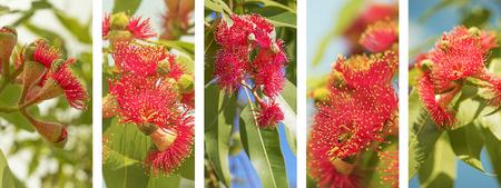 Foto de Australian Panoramic nature banner with set of red eucalyptus flower photo elements in white frame - Imagen libre de derechos