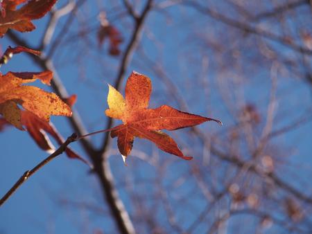 Turned red acer leaf.