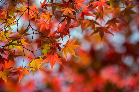 Photo pour Maple tree in autumn, Japan - image libre de droit