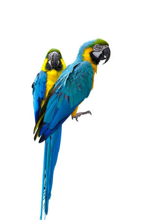 Two macaw parrots isolated on white