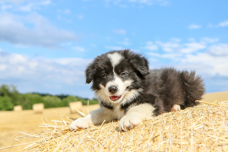 Photo pour A cute puppy is lying on the hay bale and smiling. - image libre de droit