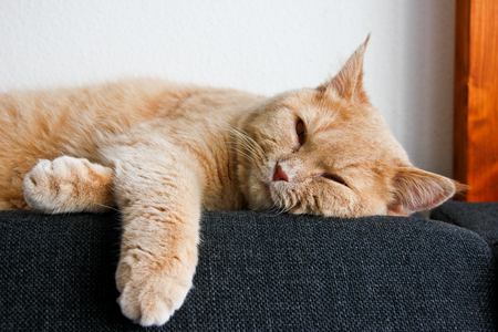 Photo pour A cute tabby cat, still a kitten, is lying on the sofa in relaxed position and looking very tired. He wants to sleep. - image libre de droit