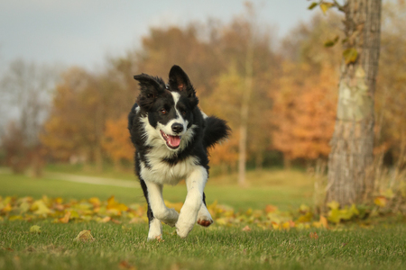Foto de A picture of a young border collie puppy running on the autumn meadow between the fallen leaves. He enjoys the nature and is happy to be outside. - Imagen libre de derechos