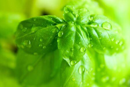 Photo pour A fresh basil with drops of water on it. - image libre de droit