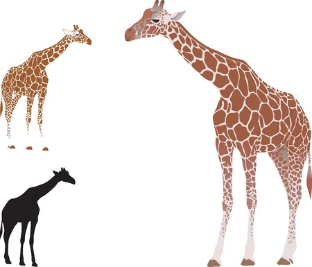 realistic giraffe isolated on white background