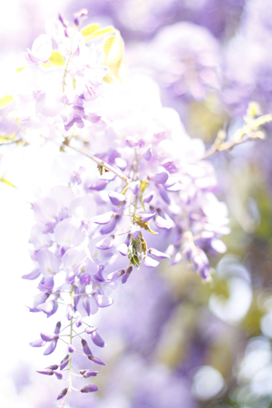 Closeup blurred flowers of wisteria. Purple flowers on soft background with space for your text or design.