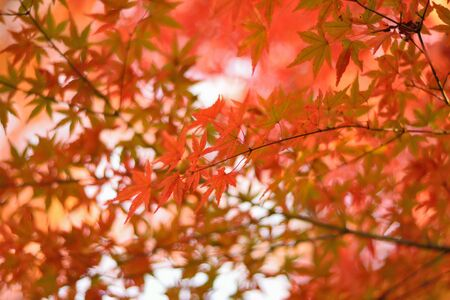 Vibrant Japanese Autumn Maple leaves Landscape with blurred background in horizontal frameの写真素材