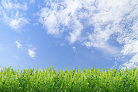 Foto per Green grass with blue sky background - Immagine Royalty Free