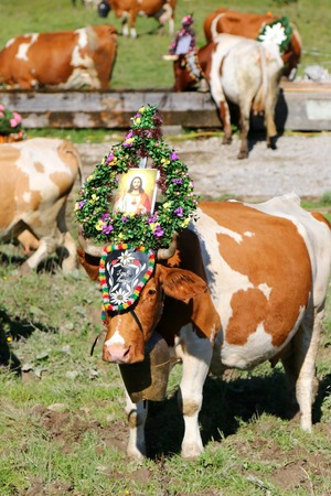 Austrian cow wearing a huge bell and a decorative headdress with a photo of Jesus during a cattle drive Almabtrieb Festival in Tyrol, Austria. Texts on a headdress I Geh Hoam is Tyrolian word for I go home