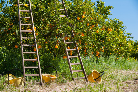 Wooden ladders leaned on orange trees and yellow plastic pails on the ground during the harvest season