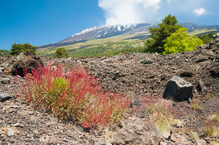 Typical red bush of Mount Etna growing on an old lava flow with the smoking volcano in the background