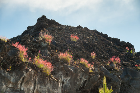 Typical red bush of Mount Etna growing on an old lava flow