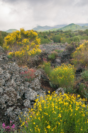 Landscape of Mount Etna with blooming broom plants lava rocks and trees