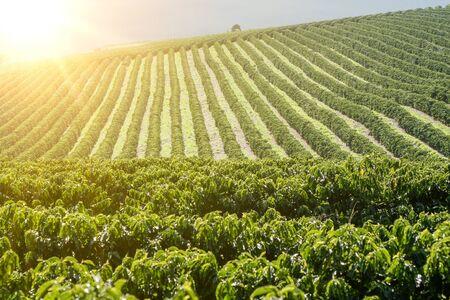 Foto de View farm with coffee plantation - Farm coffee plantation in Brazil - Cafe do Brasil - Imagen libre de derechos