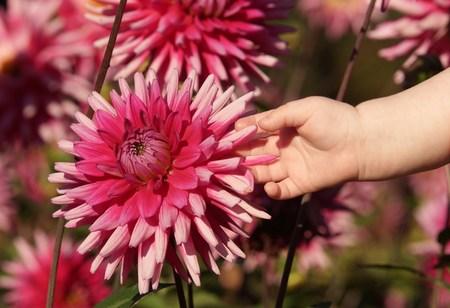 Cute baby hand and beautiful dahlias