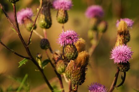 Common donkey thistle, Onopordum acanthium, in a meadow in August