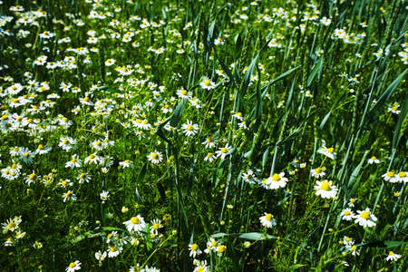 Chamomile under a blue sky in summer