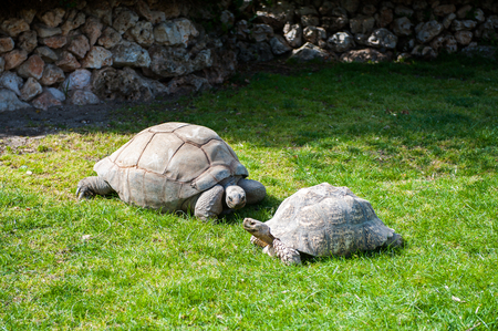 Two big turtles rest on the ground