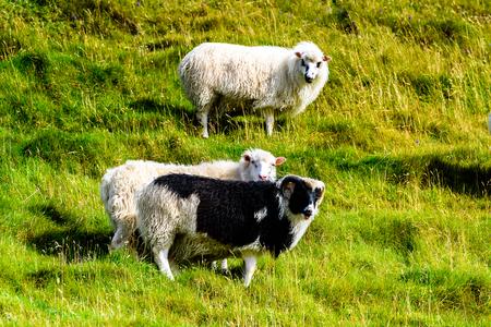Sheep on the grass, Faroe Islands.
