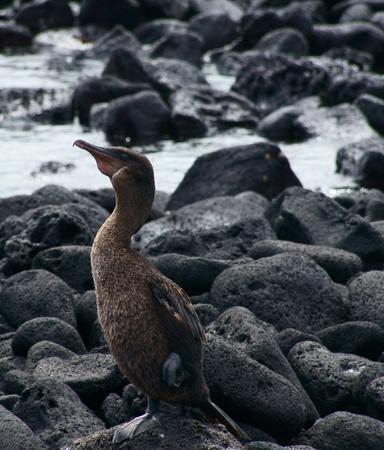 Flightless Cormorant in the Galapagos, Ecuador