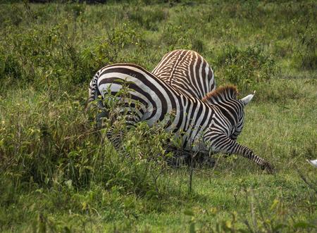Image of zebras in Masai Mara in Kenya