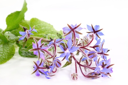 a sprig of borage on a white background