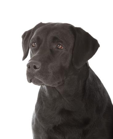 black labrador retriever dog on white background