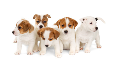 Photo for Five Jack Russell Terrier puppies isolated on white background. Front view, sitting. - Royalty Free Image