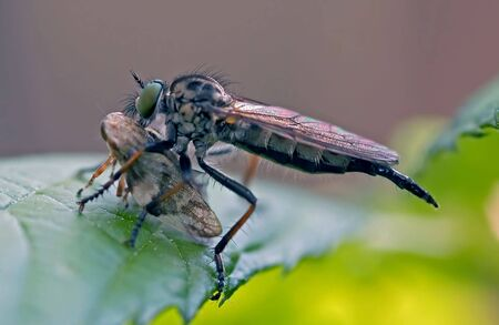 Detail (close-up) of a pirate fly
