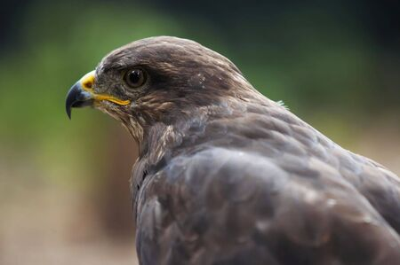 bird of prey - steppe eagle