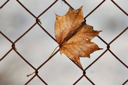 Autumn maple leaf in wire fence