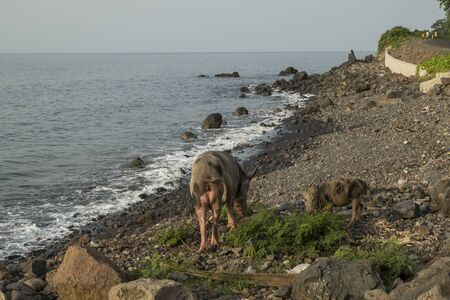 Pig to walk by the sea