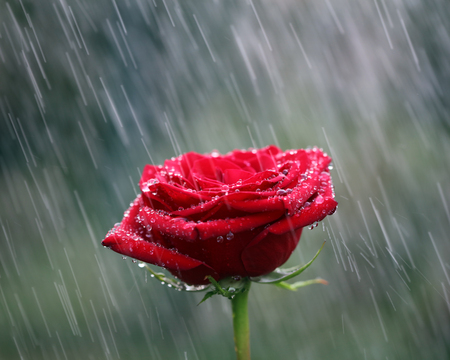 Red rose into the rain. Shallow DOFの写真素材