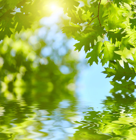 Photo for Fresh green leaves reflecting in water background. Sun shining through the tree - Royalty Free Image