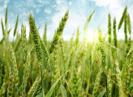 Green wheat field and sun
