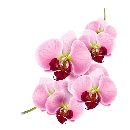 Illustration pour beautiful orchids flowers branch isolated on white background  - image libre de droit