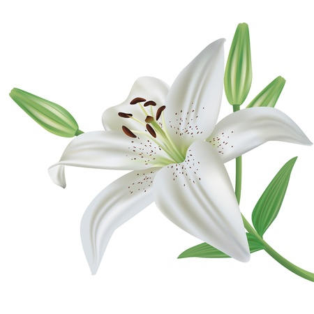 White lily flower realistic, isolated on white background, vector