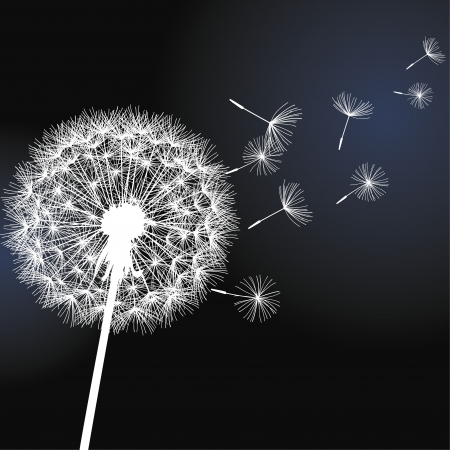 Flower dandelion white on black background  Vector illustration